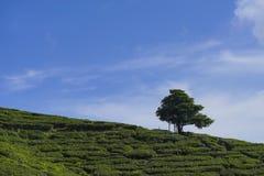 Albero solo sulla montagna a bello paesaggio del planta del tè Fotografia Stock