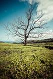 Albero solo sulla montagna a bello paesaggio del planta del tè Immagine Stock Libera da Diritti