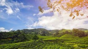 Albero solo sulla montagna a bello paesaggio del planta del tè Immagine Stock