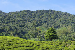 Albero solo sulla montagna a bello paesaggio della piantagione di tè Fotografia Stock
