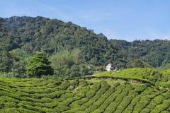Albero solo sulla montagna a bello paesaggio della piantagione di tè Fotografie Stock Libere da Diritti