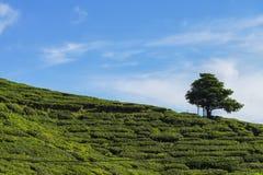 Albero solo sulla montagna a bello paesaggio della piantagione di tè Immagine Stock