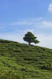 Albero solo sulla montagna a bello paesaggio della piantagione di tè Fotografia Stock Libera da Diritti