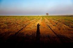 Albero solo sulle ombre del fotografo e della piantagione di canna da zucchero nel Brasile Immagini Stock Libere da Diritti