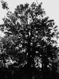 Albero spettrale Immagine Stock Libera da Diritti