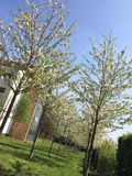 albero sping del fiore Immagine Stock