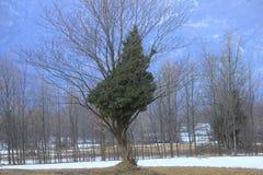 Albero su un altro albero nella foresta Fotografia Stock