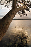 Albero su un lago Fotografie Stock Libere da Diritti