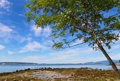 Albero su una spiaggia durante la bassa marea contro cielo blu con le nuvole Fotografie Stock Libere da Diritti