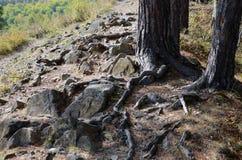 Albero su una traccia di montagna Fotografie Stock