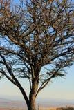 Albero sudafricano dell'acacia al tramonto Immagini Stock