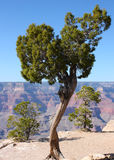 Albero sul bordo di grande canyon in Arizona Immagine Stock