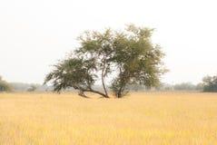 albero sul campo Immagini Stock Libere da Diritti