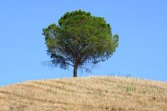 Albero sul pendio di collina toscano Fotografia Stock