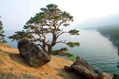 Albero sulla costa del lago Baikal Immagine Stock
