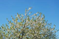 Albero superiore con i fiori Immagine Stock