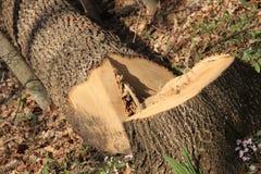 Albero tagliato in una foresta Fotografia Stock