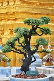 Albero tailandese dei bonsai fotografia stock