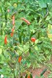 Albero tailandese dei peperoncini rossi agriculteral in azienda agricola organica Fotografia Stock Libera da Diritti