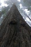 Albero torreggiante del Redwood Fotografia Stock