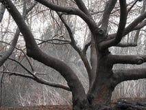 albero torto Fotografie Stock Libere da Diritti
