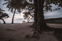 Albero tropicale con le radici attraenti sulla spiaggia di sera Immagini Stock Libere da Diritti