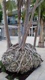 Albero tropicale con le radici interessanti fotografie stock libere da diritti