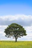Albero in un campo del seme di ravizzone Fotografie Stock Libere da Diritti
