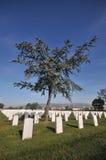 Albero in un cimitero con i lotti delle lapidi Fotografia Stock