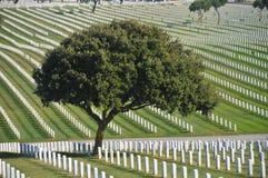 Albero in un cimitero con i lotti delle lapidi Fotografie Stock
