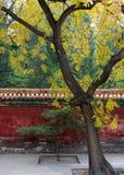Albero in un cortile Immagine Stock