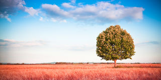 albero in un wheatfield della Toscana - Toscana - Italia Immagine Stock