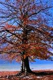 Albero variopinto in autunno dietro il lago Fotografia Stock Libera da Diritti