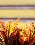 Albero variopinto del Croton Fotografie Stock