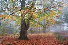 Albero variopinto del faggio nella foresta nebbiosa di autunno Immagine Stock