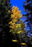 Albero variopinto soleggiato in autunno Immagine Stock