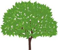 Albero verde Immagini Stock