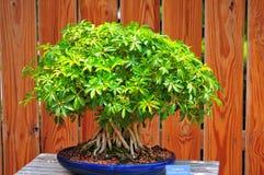 Albero verde dei bonsai Fotografia Stock