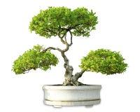 Albero verde dei bonsai isolato su fondo bianco Immagini Stock Libere da Diritti