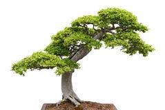 Albero verde dei bonsai su priorità bassa bianca Fotografie Stock Libere da Diritti