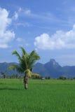 Albero verde del giacimento e di noce di cocco del riso in Tailandia Immagini Stock Libere da Diritti