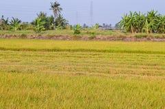 Albero verde del riso in paese, Chachoengsao, Tailandia Fotografia Stock Libera da Diritti