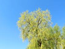 Albero verde della sorgente Fotografie Stock Libere da Diritti