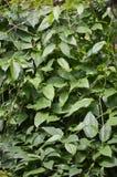 albero verde di clockvine dell'alloro in giardino Fotografie Stock