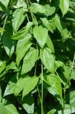 albero verde di clockvine dell'alloro in giardino Immagine Stock Libera da Diritti