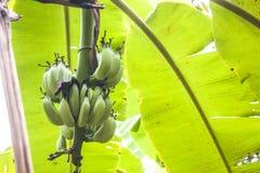 Albero verde di musa acuminata fotografia stock