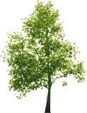 Albero verde di vettore Fotografie Stock