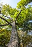 Albero verde e giallo, di diffusione in parco, autunno Fotografia Stock Libera da Diritti