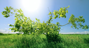 Albero verde in giorno pieno di sole Fotografie Stock Libere da Diritti