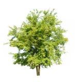Albero verde isolato su priorità bassa bianca Immagine Stock